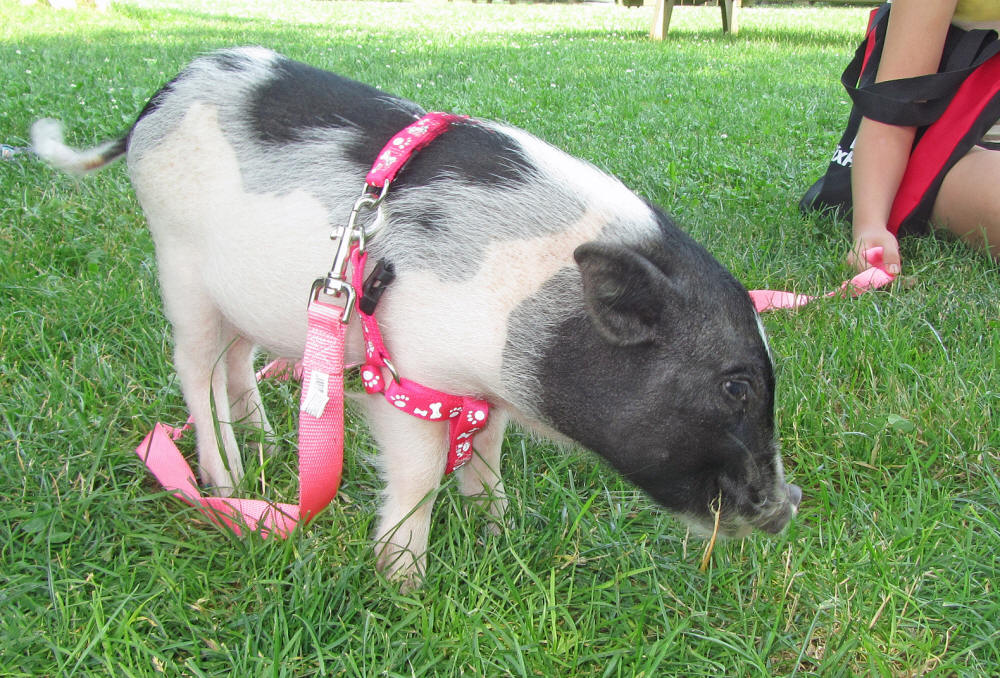 full grown teacup pigs | Search Results | Dunia Photo