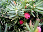 Yew evergreen shrub aril berry