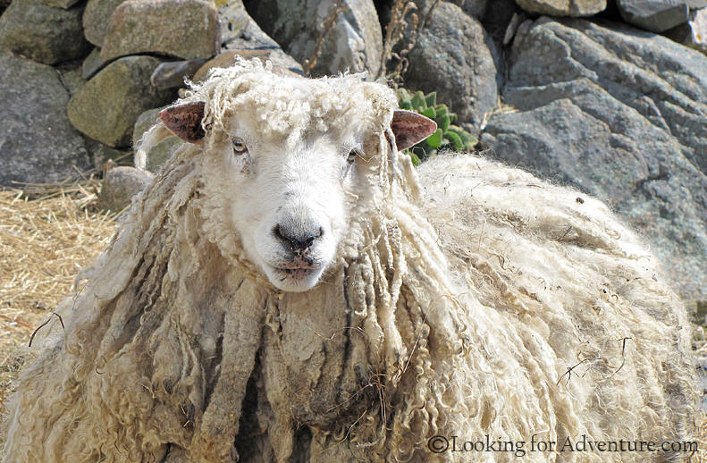 Long Hair Sheep looking like jamaican dreadlocks in