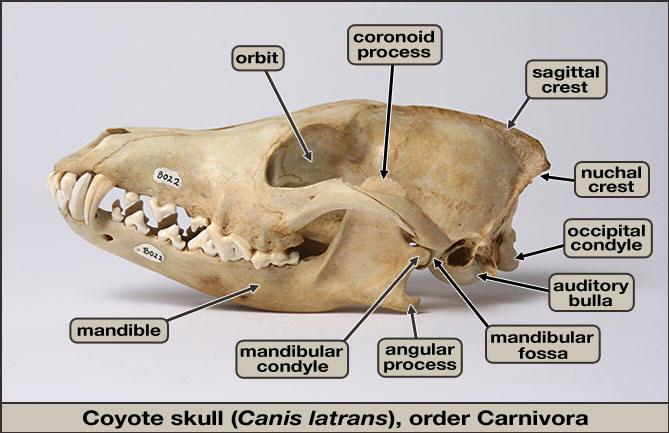 Coyote skull anatomy - photo#1